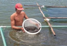 Cá mú nuôi rớt giá