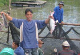 Dịch bệnh trên cá tra vẫn trong tầm kiểm soát