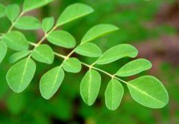Cách trồng cây chùm ngây cho năng suất cao