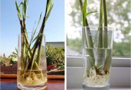 Cách trồng cây sả tại nhà vừa làm cảnh, vừa đuổi muỗi