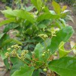Cách trồng và chăm sóc cây xạ đen