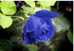 Cách trồng hoa hồng xanh đơn giản tại nhà