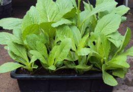 Cách trồng rau cải xanh hiệu quả tại nhà