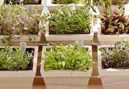 Hướng dẫn cách trồng rau mầm đơn giản tại nhà