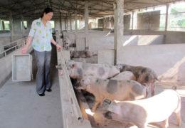 [Video] Phương pháp chăn nuôi lợn hữu cơ