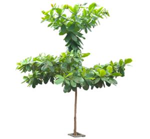 công dụng của cây bàng