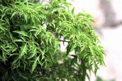 công dụng của cây đinh lăng