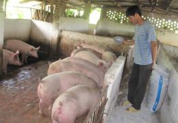 Nguồn cung thịt lợn sẽ ổn định