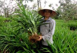 Nên trồng cây Hương Bài