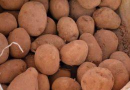 Khoai tây Trung Quốc đội lốt khoai Đà Lạt: Giá tăng gấp 3 nhờ bởi đất đỏ