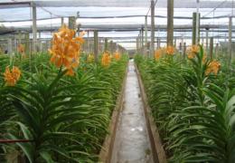 Sản xuất lan nhiệt đới…