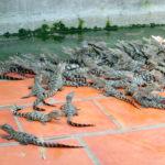 Nuôi cá sấu – nghề đánh cược may rủi