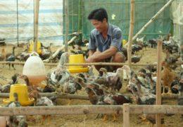 Sử dụng đệm lót sinh học trong chăn nui – Từ mô hình đến thực tiễn
