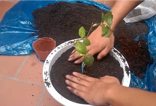 Thực hiện trồng cây hoa hồng vô chậu