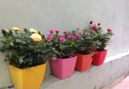 Cách chăm sóc hoa hồng cho ra nhiều hoa