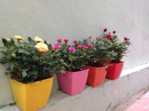 Hướng dẫn cách chăm sóc cây hoa hồng ra hoa nhiều