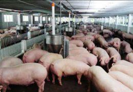 Kỹ thuật chăn nuôi lợn thịt đạt năng suất cao