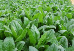 """Cách trồng cải bó xôi luôn xanh tươi """"mơn mởn"""""""