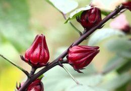 Hướng dẫn cách trồng cây Atiso đỏ đơn giản, cho năng xuất cao