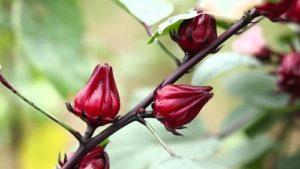 cách trồng cây atiso