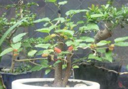 Hướng dẫn cách trồng và chăm sóc cây dâu tằm