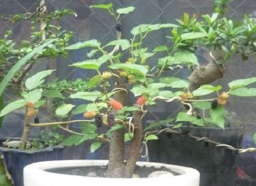 Cách trồng cây dâu tằm