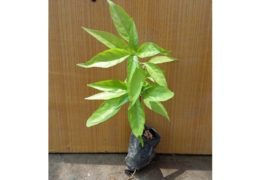Cách trồng cây Hoàn ngọc và những lưu ý khi trồng