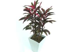 Cách trồng cây huyết dụ