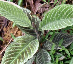 Cách trồng cây Khôi tía