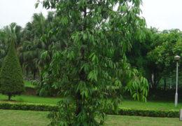 Cách trồng, chăm sóc và trừ sâu bệnh cho cây Kim Giao