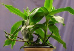 Cách trồng cây lược vàng trong nhà và cách sử dụng cây đúng nhất