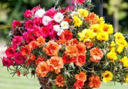 Cách trồng hoa mười giờ đơn giản tại nhà