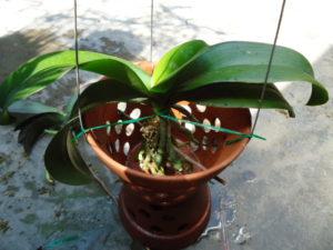 Lan có thể trồng trong chậu nhựa hoặc chậu đất