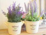 Hướng dẫn chi tiết cách trồng hoa oải hương phù hợp với khí hậu Việt Nam