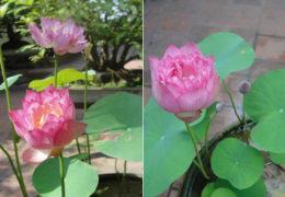 Cách trồng hoa sen trong chậu nhiều hoa, tươi lâu