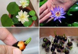Cách trồng hoa sen mini đơn giản, rực rỡ vào mùa hè