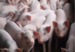 Cách chăn nuôi lợn con sau cai sữa đúng cách, hiệu quả