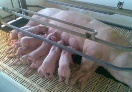 Cách chăn nuôi heo nái đẻ và các biện pháp nâng cao năng suất