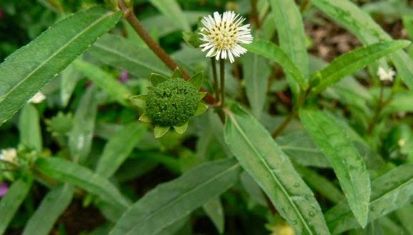 Công dụng của cây cỏ mực – thảo dược giàu giá trị tại Việt Nam