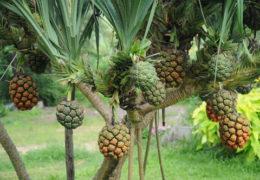 Công dụng của cây dứa dại và những lưu ý khi dùng