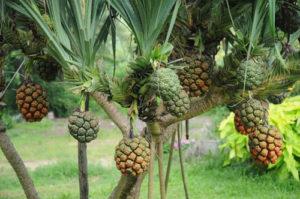 công dụng của cây dứa dại