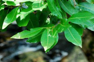 công dụng của cây lá vối