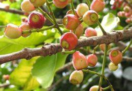"""Công dụng của cây lá vối – """"thần dược"""" cho bệnh tiêu hóa"""