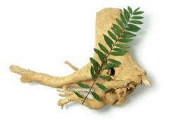 Rễ của cây mật nhân