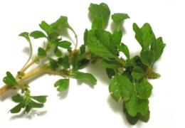 Công dụng của rau dền gai và 9  bài thuốc ứng dụng tại nhà
