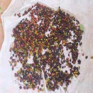 cách trồng cây mật nhân