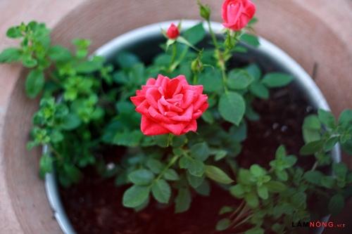 Nên cắt chéo hoa hồng một góc 45 độ
