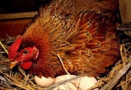 Chia sẻ kỹ thuật nuôi gà ta đẻ trứng
