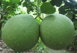 Kỹ thuật trồng bưởi da xanh cho cây sai trái