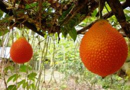 Kỹ thuật trồng cây Gấc cho hiệu quả kinh tế cao